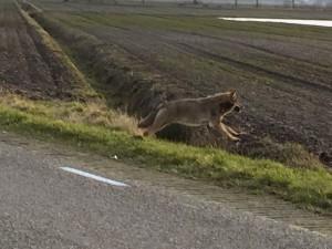 Wolf in Drenthe