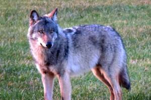 Wolf doodgereden tussen Kloosterhaar en Bergentheim