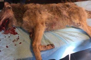 Dode wolf gevonden bij het Drentse Veeningen