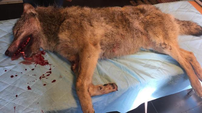 dode wolf gevonden in Drenthe