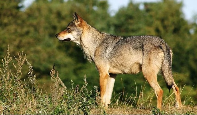 wolf op de veluwe