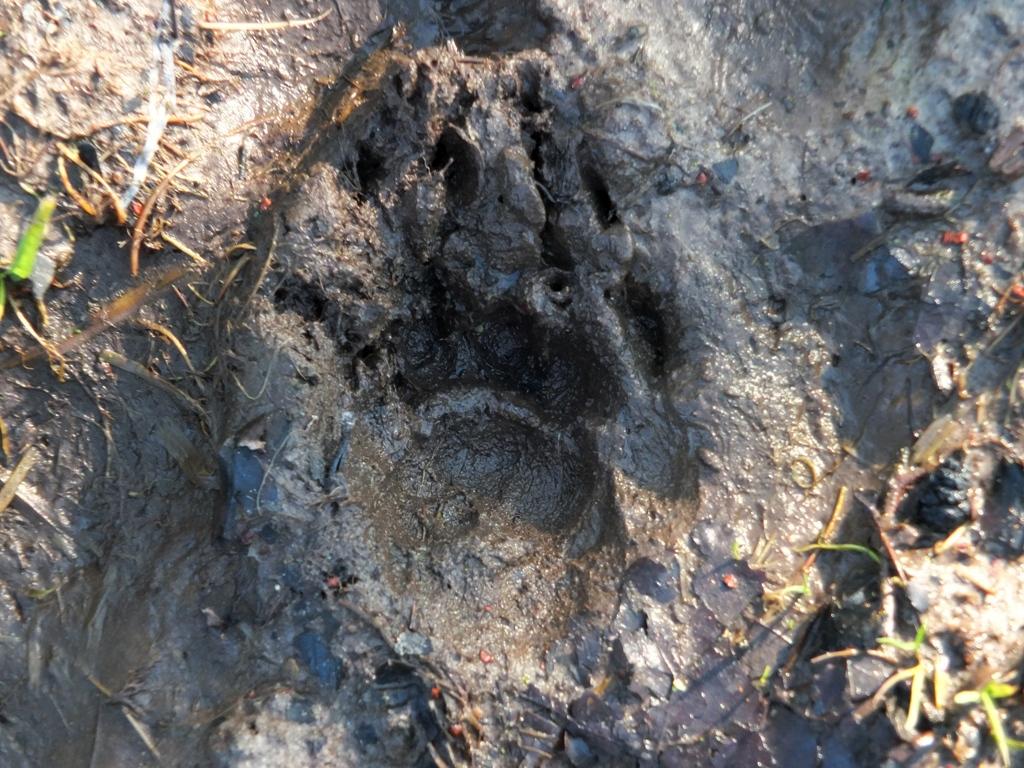 Sporen Drentse Wolf