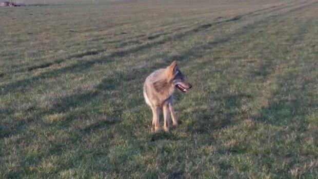 Drentse wolf in het weiland