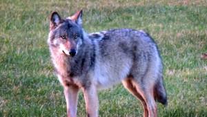 drentse wolf