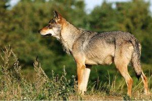 Mogelijk een wolf waargenomen in de omgeving Appelscha