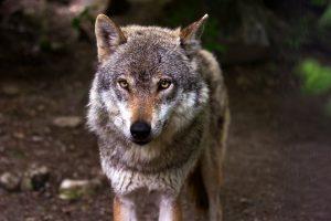Wolf in België doorkruiste Nederland