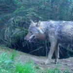 wolf drenthe