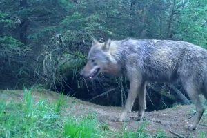 Wolf vestigt zich in Drenthe