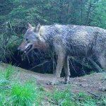 wolf-drenthe-4-mei-2018 (1)