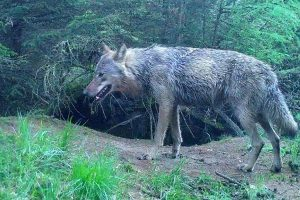 De definitieve komst van de wolf in Drenthe komt dichterbij