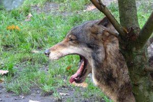 Dode schapen door wolven