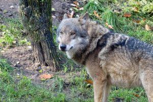 Wolf slaat toe in centraal Drenthe