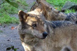 Drenthe krijgt gebiedscommissie om wolvenschade te voorkomen