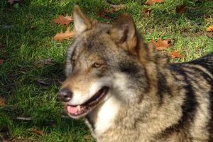 Wolf vestigt zich definitief in Drenthe